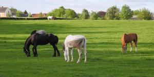Paarden bij de buren